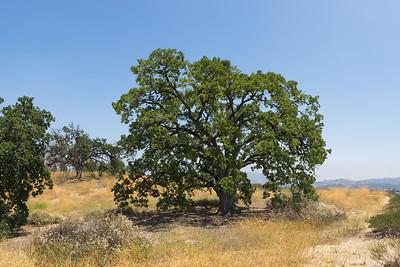 Large Oak Crowns Hilltop