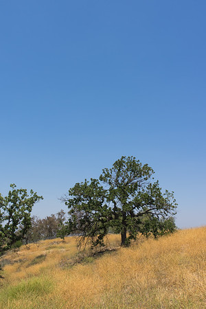 Oak on California Ridge