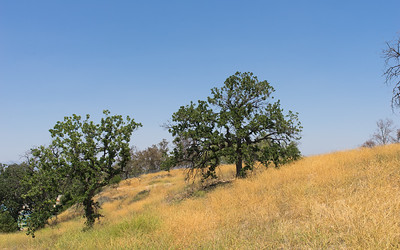 Hillside California Oaks