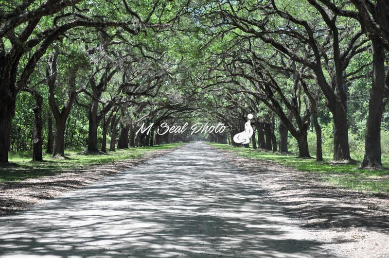wormsloe driveway under oaks