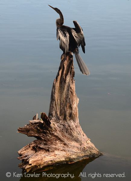 Anhinga pointing