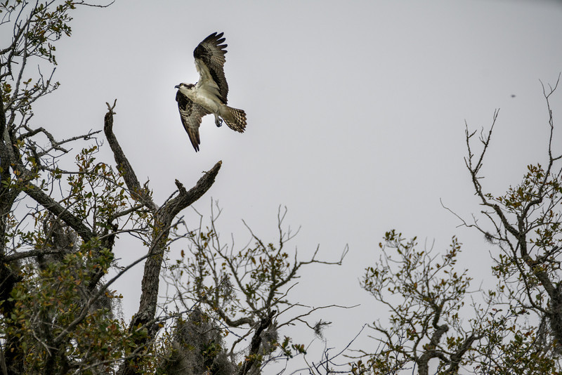 Osprey in the Air!