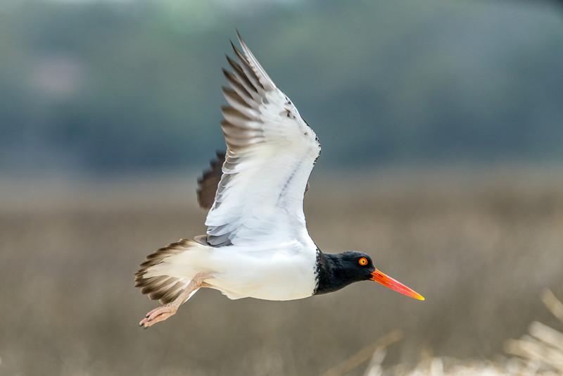 American Oystercatcher Wings Open in Flight