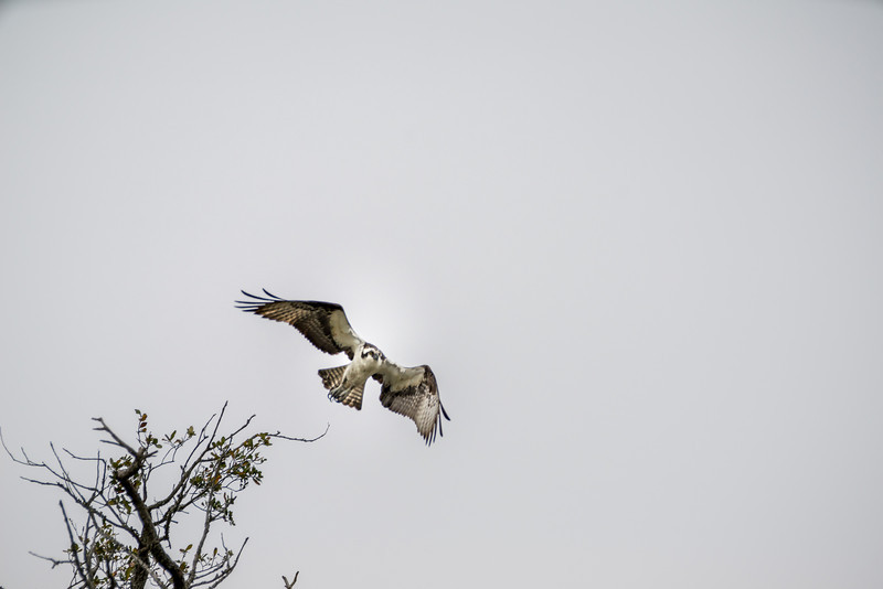 Osprey Flying at You