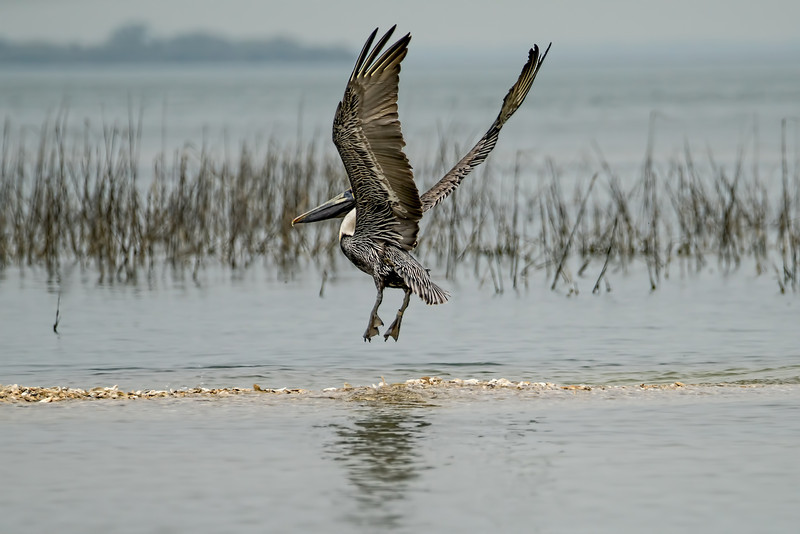 Brown Pelican Wings Up in Flight