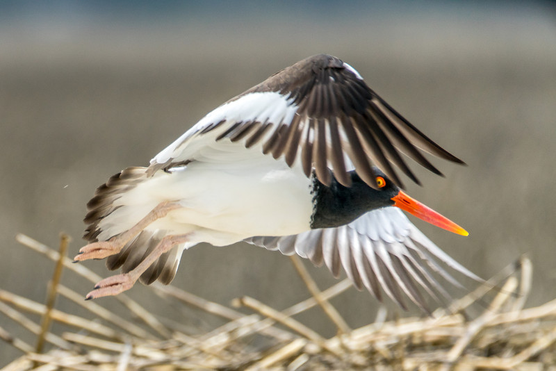 American Oystercatcher, Wings in Flight
