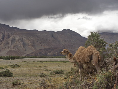 Young Bactrain camel, Nubra Valley