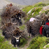 Feeling unwell (Campylobacter) and struggling a bit after leaving Saldang to go over a 5000+m pass to Shey I was suddenly confronted by a small group of yaks at full chat