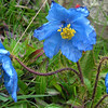 The Himalayan Blue Poppy is only found here and is a startling flower to encounter for the first time !