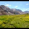 Wildflowers of the Zanskar valley near Pishu.