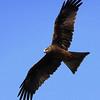 Black Kite (Kathmandu)