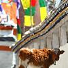 Prayer wheels and calf