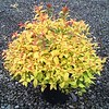 Spiraea Gold Flame #5