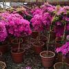 Azalea Sherwood Orchid 11RTU PT
