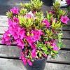 Azalea Girard Fuchsia #2
