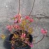 Azalea Rosy Lights #5