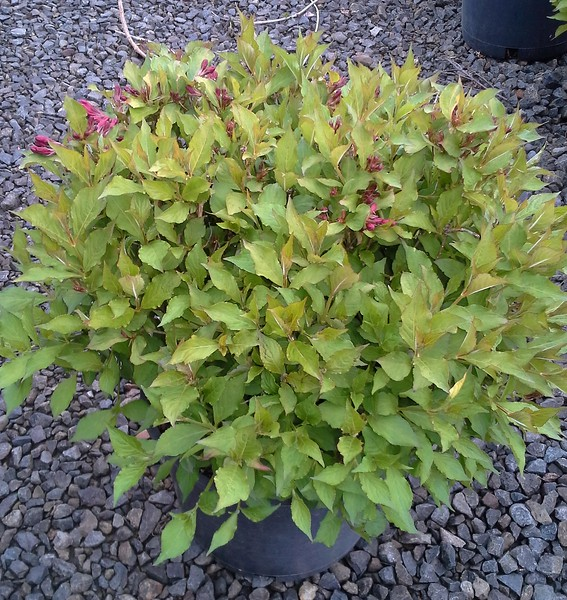 Weigela Flamingo Pink #3 #594623