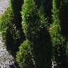 Thuja Emerald Green Spirals #5