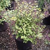 Bloomerang Deep Purple #3-will ship in Proven Winner pots