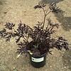 Actaea Black Negligee #1