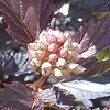 Physocarpus Summer Wine buds