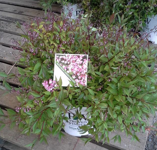 Deutzia Yuki Cherry Blossom #3