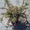Cotoneaster apiculatus #5