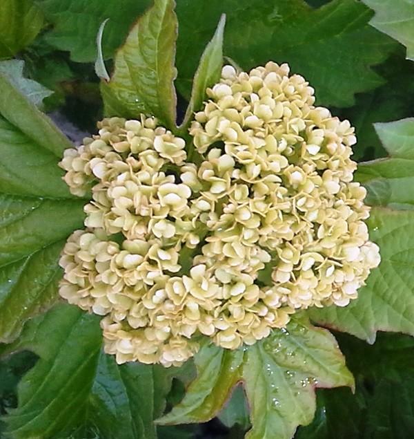 Viburnum opulus Sterile bud