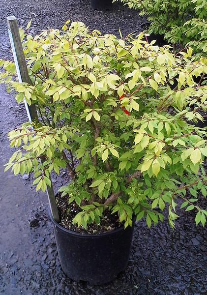 Euonymus alatus compacts #5 FD
