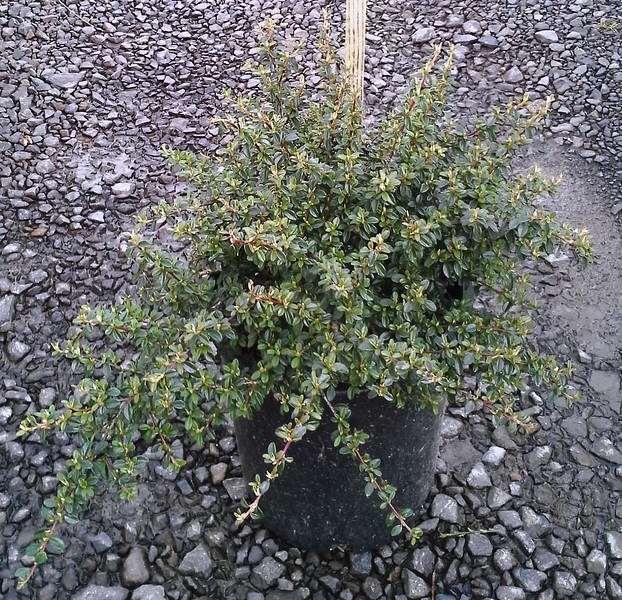 Cotoneaster Coral Beauty #5