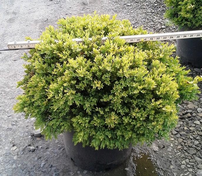 Buxus Green Velvet #7