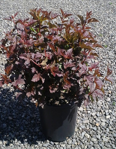 Physocarpus Diablo #5