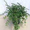 Cotoneaster apiculata