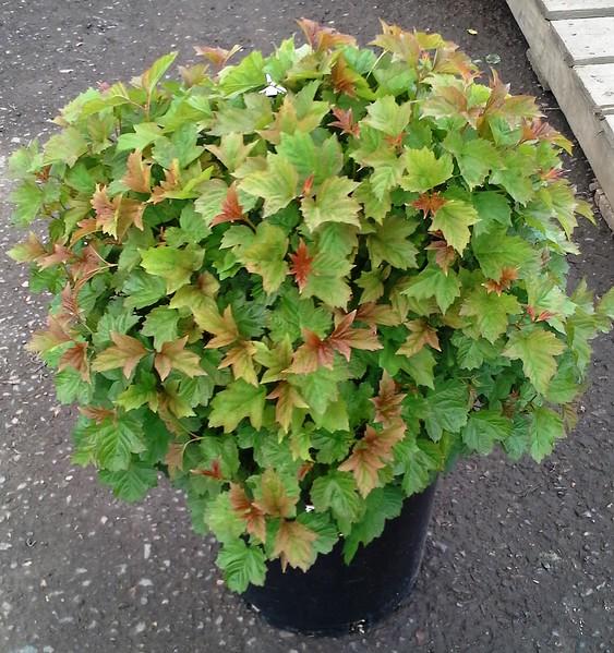 Viburnum opulus nana #5