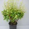 Cotoneaster acutifolius #1