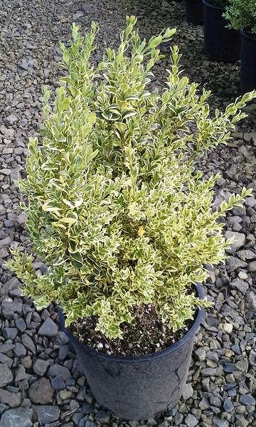 Buxus Vareigata #2