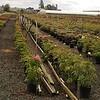 Tree Peonies #2