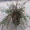 Cotoneaster apiculata #5