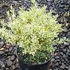 Buxus variegata #1