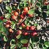 Cotoneaster apiculata berries