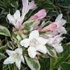 Weigela Variegata flowers