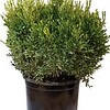 Buxus Justin Brouwers #5