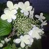 Viburnum Kilamandjaro flower