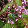 Deutzia Yuki Cherry Blossom 8in buds