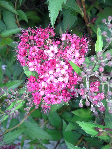 Spiraea Shirobana flowers