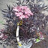 Sambucus Black Lace 8in