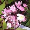 Duetzia Yuki Cherry Blossom buds