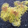 Sambucus Lemon Lace 8in