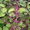Syringa Bloomerang Deep Purple buds