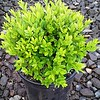 Buxus Justin Brouwers #1 #575075